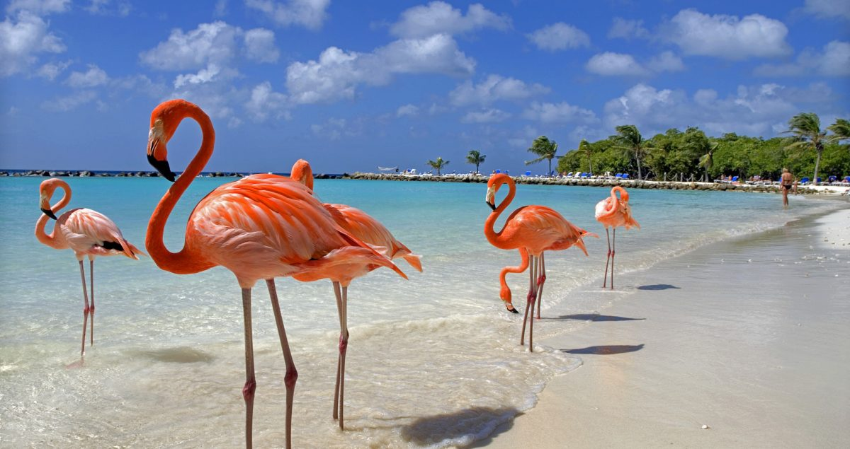 Flamingos enjoying the beach in Aruba.